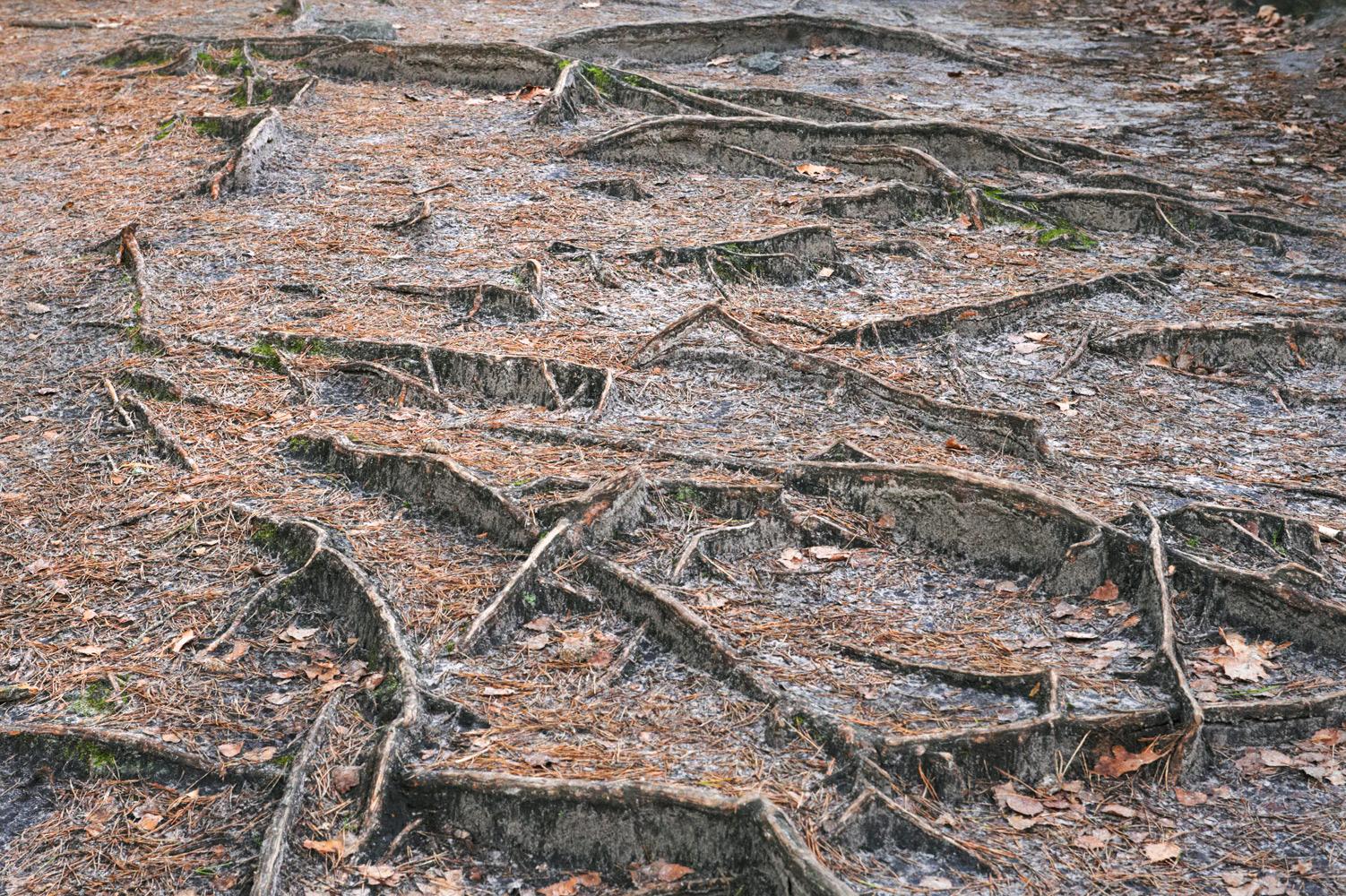 Racines, forêt de Fontainebleau