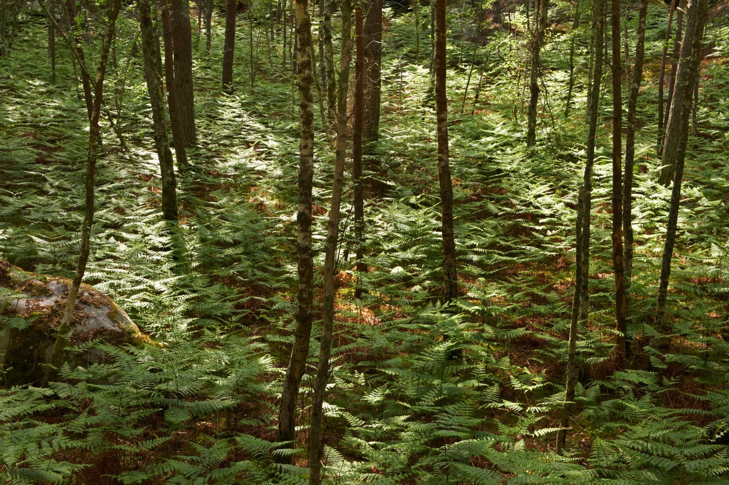 Forêt de Fougères