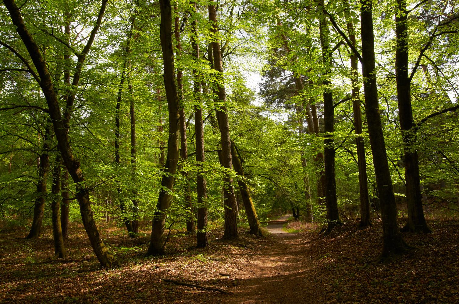 Sentier au milieu des grands arbres